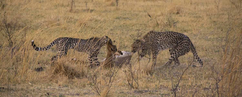 ghepardi eng